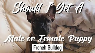 Male vs. Female French Bulldog