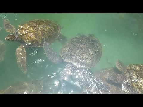 ATTRACTIONS OF GRAND CAYMAN - TURTLE FARM
