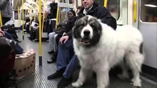 Самые большие собаки Мира