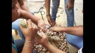 Separación de los frutos de un racimo de Palma Coroba