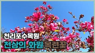 #건강#다이어트#트레킹 4월 천리포수목원에 목련꽃 흐드…