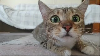 😂 Cats 🐈 are so funny you will die laughing - Funny cat compilation