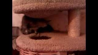 Котята мейн-кун и мыши