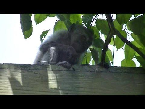 Ada Monyet Full Version 16 Agustus 2014 Bunga Rampai TiVi 1995