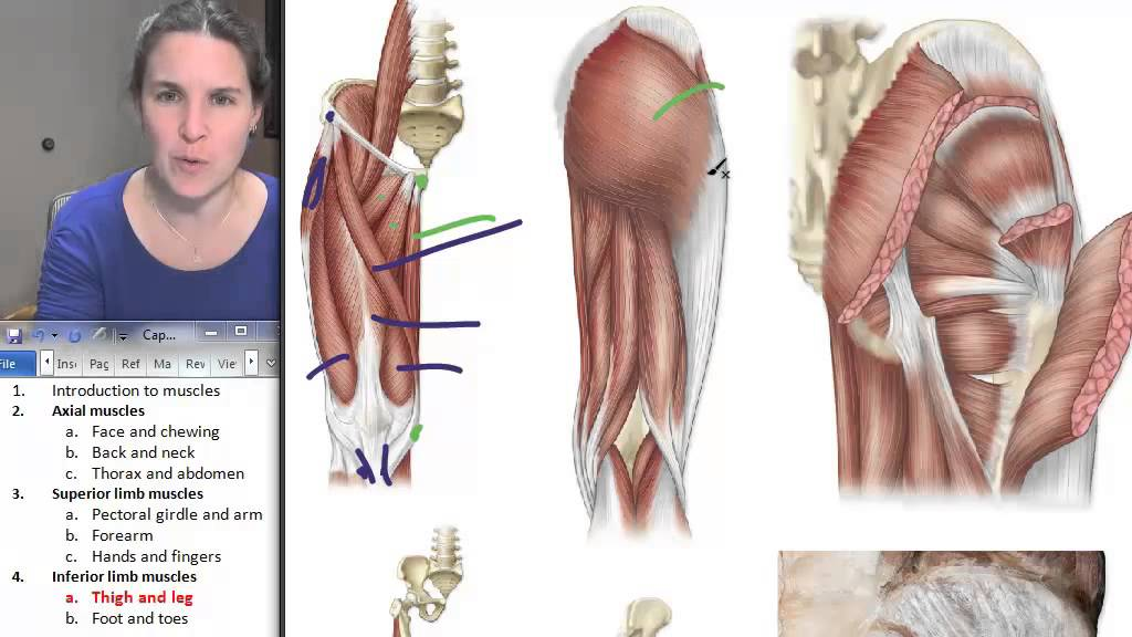 Thigh + Leg Muscles ☆ Human Anatomy Course - YouTube