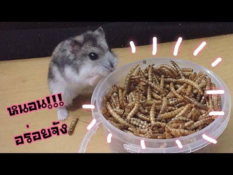 Hamster story ep.8 เลี้ยงแฮมสเตอร์ด้วยหนอนอบแห้ง