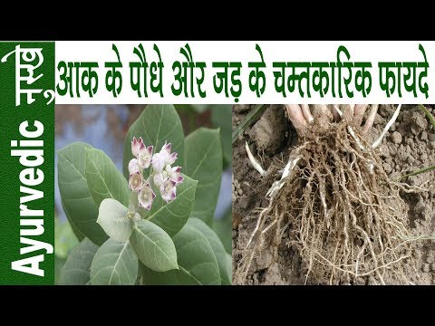 हर बीमारी का काल है आक का पौधा | Health Benefits Of Calotropis Gigantea | Aak Ke Fayde