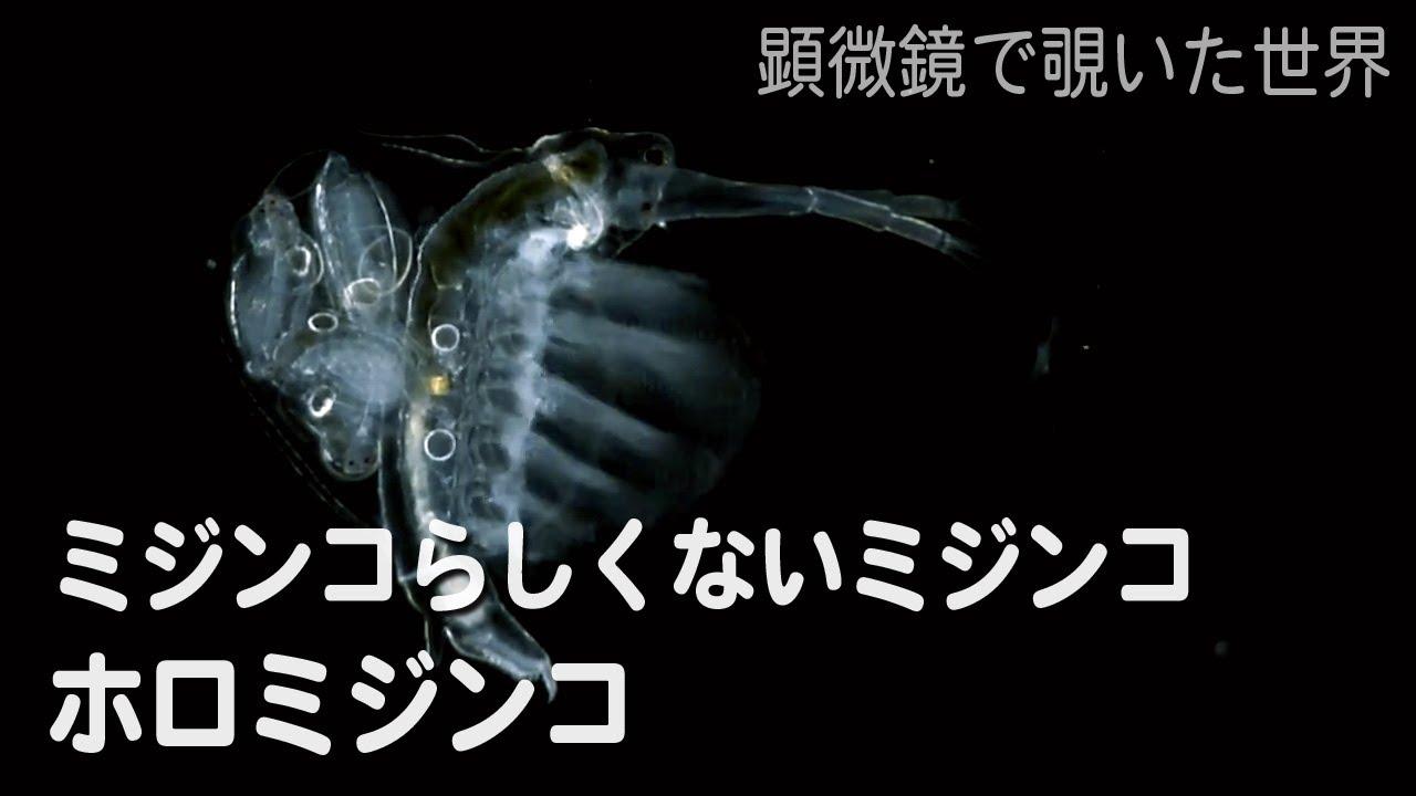 ホロミジンコ - YouTube