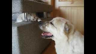 Котенок и СОБАКА налаживают контакт.