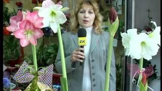 Цветя - Амарилис , отглеждане, послания, легенди.