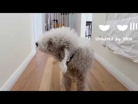 When I feel happy with my dogs and a cat / healing dog Bedlington terrier