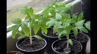 Огород для начинающих. Рассада перца и томата