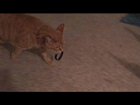 My Cat Plays Fetch Better than a Dog!