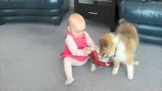 Sheltie Puppy 4 Months Old