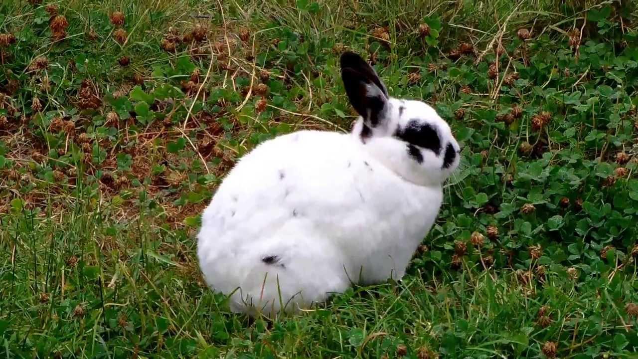 Black White Bunny Rabbit (Rhinelander Rabbit)