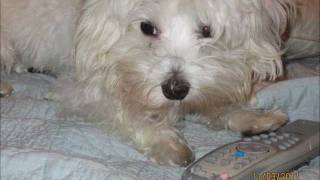 Rescue Maltese Dog Needs Heart Surgery