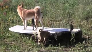 This is a video of some of our female Kai Ken (甲斐犬) playing with...