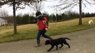 Labrador Retriever Puppy twelfth day at my kennel