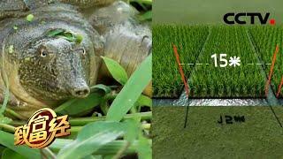 《致富经》 20210517 茭白田里来了好帮手| CCTV农业