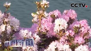 [中国新闻] 贵州乌蒙大草原:万亩杜鹃花开成海 | CCTV中文国际