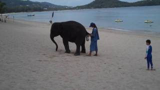 Potty trained Thai elephant