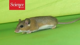 Can house mice help us figure out when people settled down?