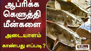 ஆப்ரிக்க கெளுத்தி மீன்களை அடையாளம் காண்பது எப்படி? | CatFish