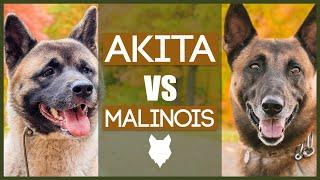 AKITA VS MALINOIS