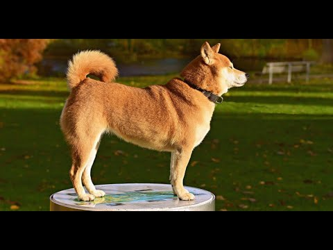 Shiba Inu Price How Much Do Dog