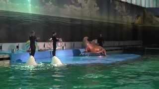 выступление белух и моржихи (дельфинарий Санкт-Петербург)(, 2015-03-18T18:21:47.000Z)