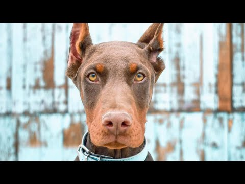 Check out this GORGEOUS European Doberman Puppy in Training - Porter