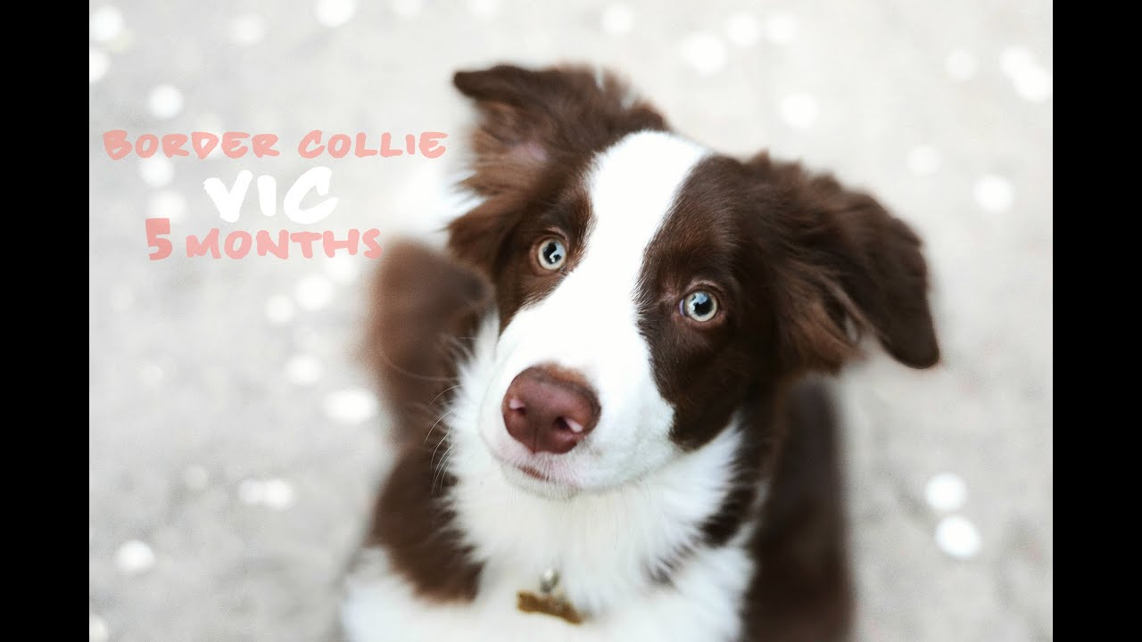 Vic - 5 months border collie puppy ♥