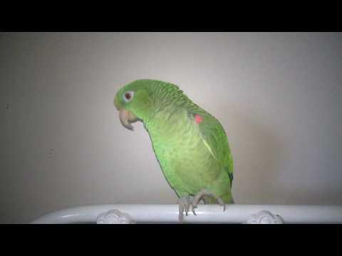 Kuuipo the Talking Amazon Parrot
