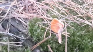 Лисичка ложная (Hygrophoropsis aurantiaca)