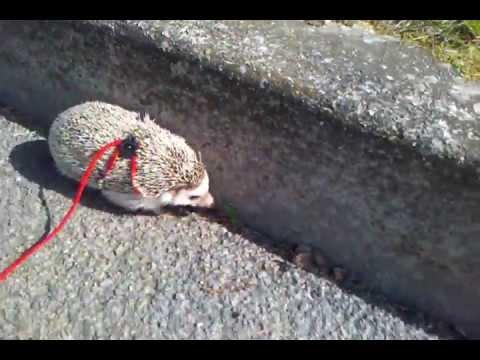 Hedgehog Leash Trained