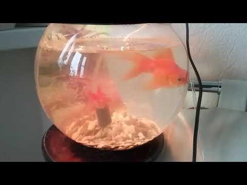 Лечим золотых рыбок от кровавых подтёков и чёрных пятен. Лечение золотой рыбки.