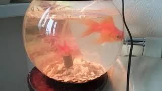 видео Лечение плавниковой гнили у золотых рыбок и телескопов