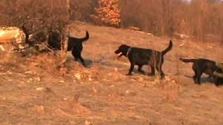 Labradori Odgajivacnice Kingdom Of Labrador