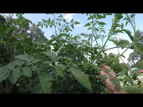 training-10-foot-tall-tomato-plants