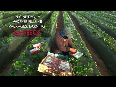 San Quintín: The daily labor of an agricultural worker in the red