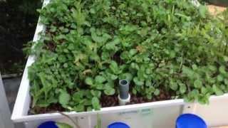 Aquaponic Watercress and Water Spinach/Kang Kong