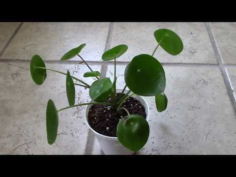 How I Fixed Curly Leaves on my Pilea Peperomioides