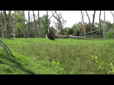 Chimpanzees at the Detroit Zoo