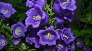 Очаровательный садовый колокольчик. Красивые фото цветов колокольчика