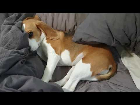 Cute beagle doesn't want to get out of bed