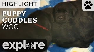 Puppy Cuddle Time At The Warrior Canine Connection - Live Camera Highlight