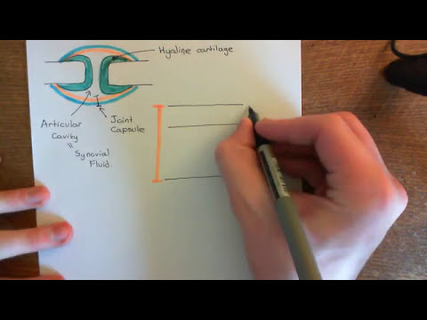 The Synovial Membrane Part 1