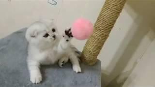 Шотландские  Вислоухие котята бесятся и играют 🐱 Scottish Fold Kittens 😻