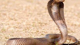 Le Cobra, seigneur du désert