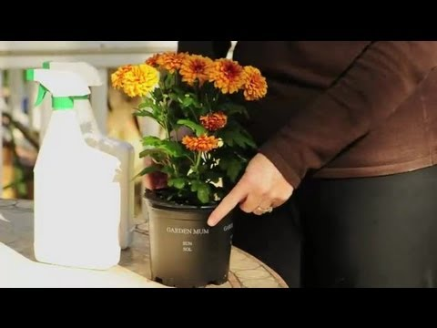 How to Make a Mum Pest-Free : Natural Pest Control from YouTube · Duration:  1 minutes 42 seconds